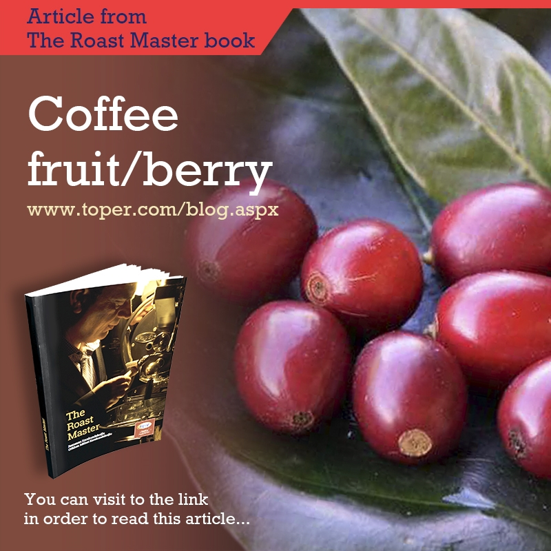 Coffee fruit / berry