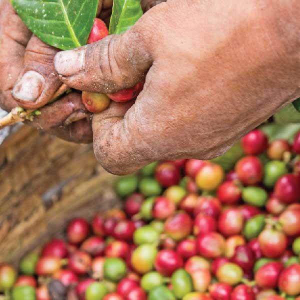 toper yeşil kahve kavurma